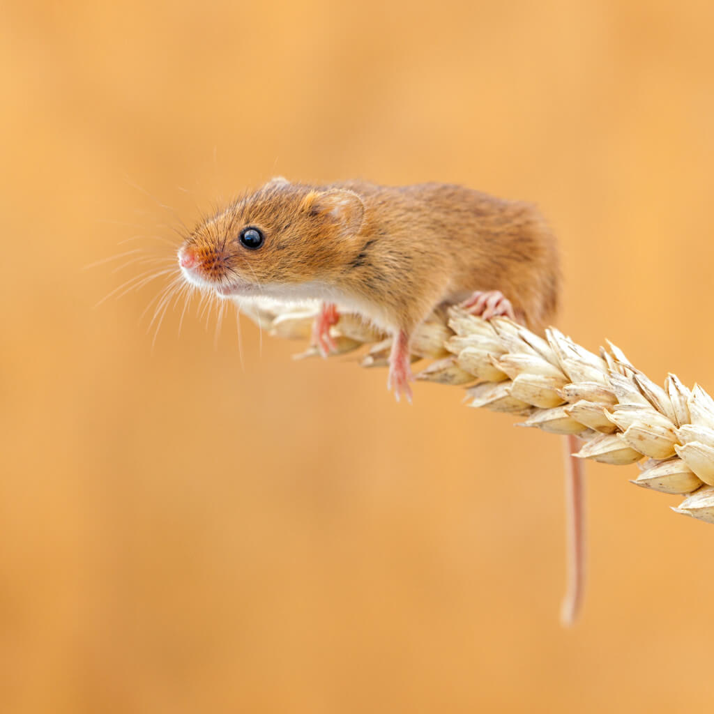 """It_s tough at the top by John Gooday - Downloaded from 500px -What Skinny """"FIRKO"""" Mice Can Teach Us About Weight Loss by weightlessMD.com"""