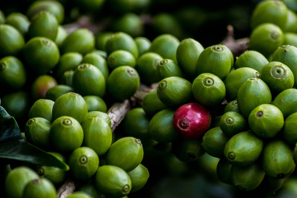 Green coffee extract review for weight loss